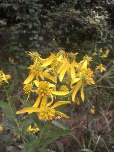 Verbesina alternifolia - Theo Witsell
