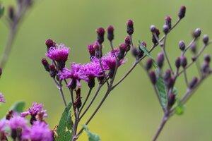 Vernonia gigantea - Ashley B. Morris