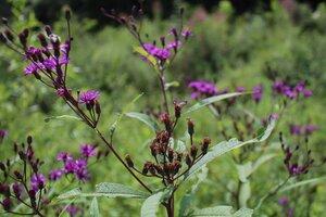 Vernonia gigantea - Joey Shaw