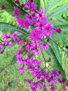 Vernonia gigantea - Sunny Fleming