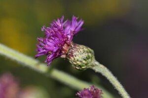 Vernonia missurica - Dwayne Estes