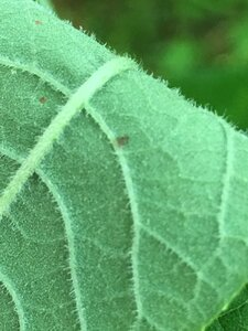 Vernonia missurica - Joey Shaw