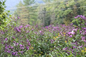 Vernonia noveboracensis - Dwayne Estes