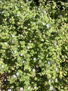 Veronica hederifolia - Milo Pyne