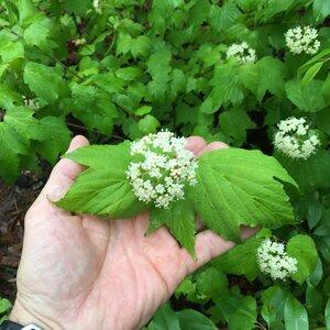 Viburnum acerifolium - Joey Shaw