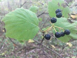 Viburnum acerifolium - Tara Littlefield