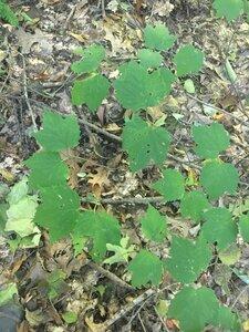 Viburnum acerifolium - Theo Witsell