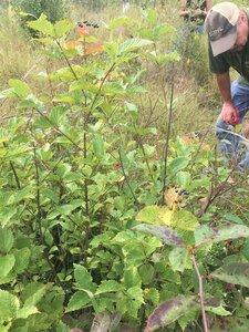 Viburnum alabamense - Tara Littlefield
