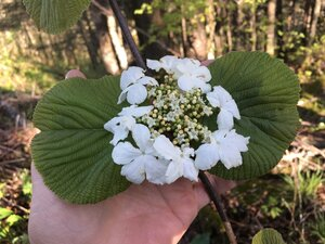 Viburnum lantanoides - Joey Shaw