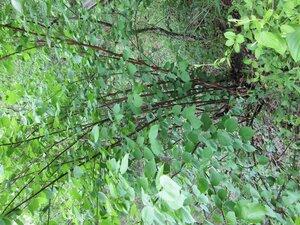 Viburnum molle - Tara Littlefield