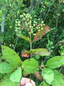Viburnum nudum - Dwayne Estes