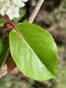 Viburnum prunifolium - Dwayne Estes