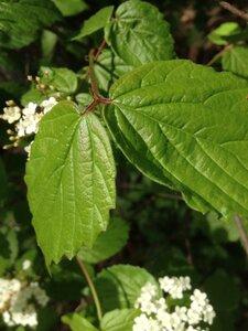 Viburnum rafinesquianum - Milo Pyne