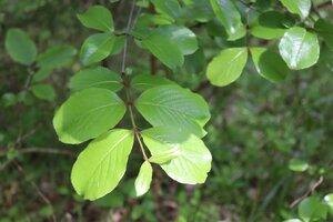 Viburnum rufidulum - Ashley B. Morris