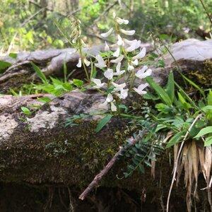 Vicia caroliniana - Ashley B. Morris