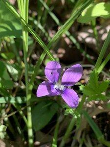 Viola affinis - Dwayne Estes