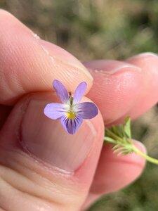Viola bicolor - Dwayne Estes