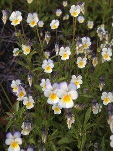 Viola bicolor - Milo Pyne