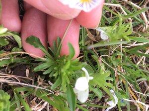 Viola bicolor - Tara Littlefield