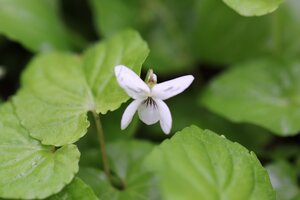Viola canadensis var. canadensis - Ashley B. Morris