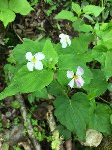 Viola canadensis var. canadensis - Tara Littlefield