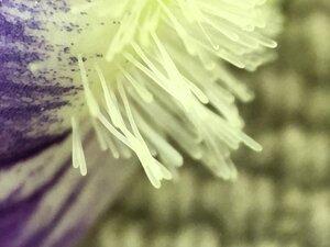 Viola cucullata - Joey Shaw
