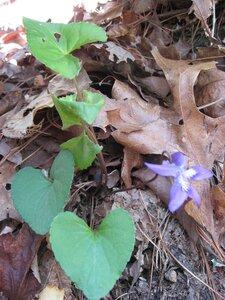 Viola hirsutula - Tara Littlefield