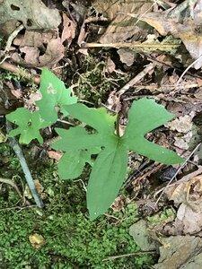 Viola palmata - Dwayne Estes