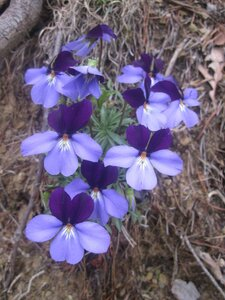 Viola pedata var. pedata - Tara Littlefield