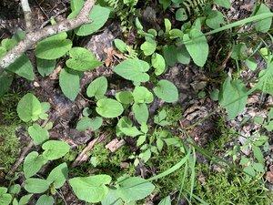 Viola primulifolia - Shawn Krosnick