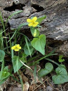 Viola pubescens - Dwayne Estes