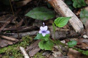Viola rostrata - Ashley B. Morris