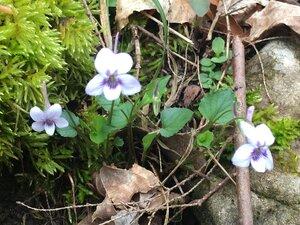 Viola rostrata - Tara Littlefield