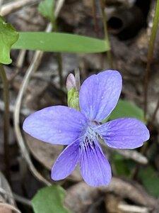 Viola sagittata - Dwayne Estes