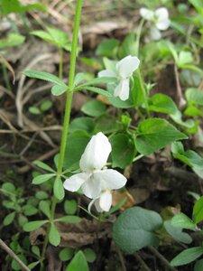 Viola striata - Tara Littlefield