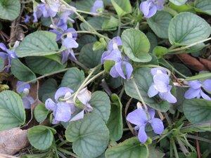 Viola walteri - Tara Littlefield