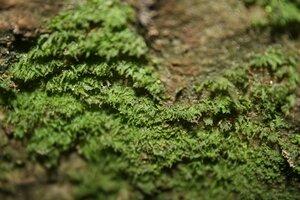 Vittaria appalachiana - Sunny Fleming