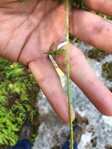 Woodsia obtusa ssp. obtusa - Dwayne Estes