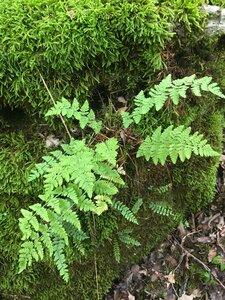 Woodsia obtusa ssp. obtusa - Joey Shaw