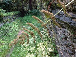 Woodsia obtusa ssp. obtusa - Milo Pyne