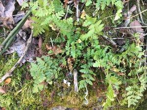 Woodsia obtusa ssp. obtusa - Theo Witsell