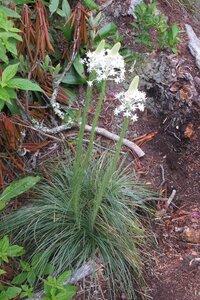 Xerophyllum asphodeloides - Milo Pyne