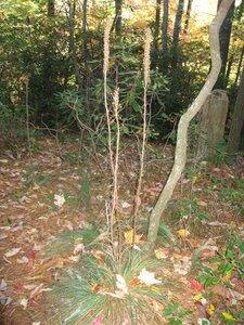Xerophyllum asphodeloides - Tara Littlefield