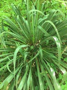 Yucca filamentosa - Joey Shaw