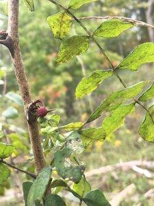 Zanthoxylum americanum - Tara Littlefield
