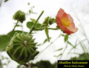 Abutilon hulseanum