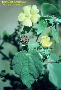 Abutilon permolle