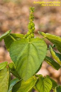 Acalypha ostryifolia