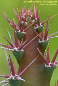 Acanthocereus tetragonus