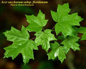 Acer saccharum subsp. floridanum
